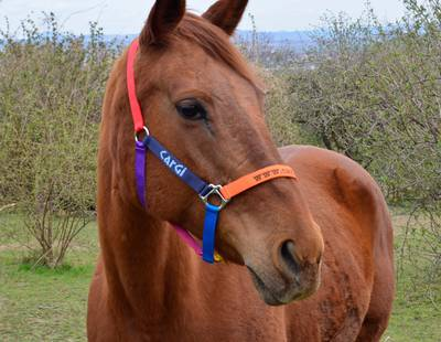 Colorful horse halter